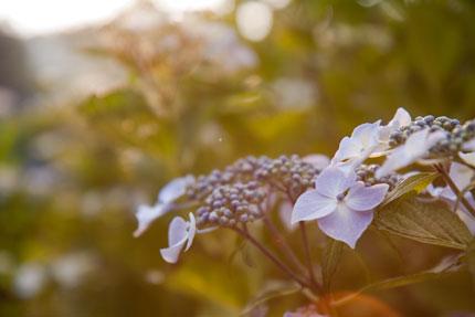 夕日に輝く紫陽花