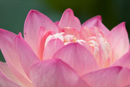 綺麗に咲いているハス