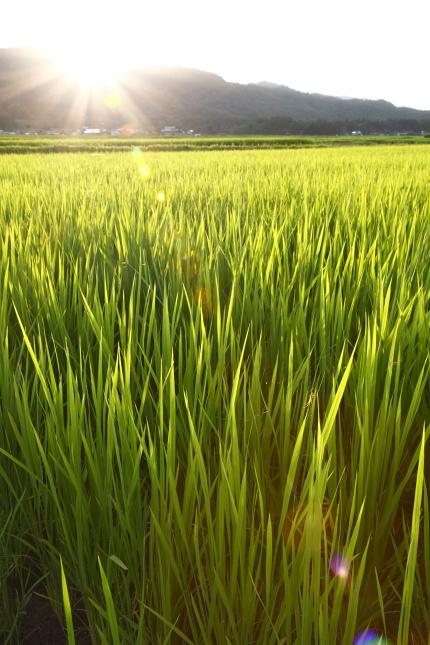 稲が一生懸命育っていた