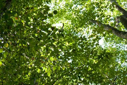 光り差し込みキラキラ輝くブナ林