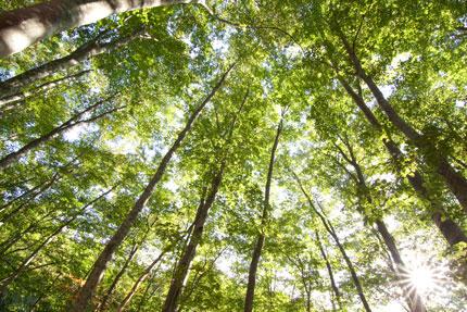 朝の光を浴びマイナスイオンいっぱいのブナ林