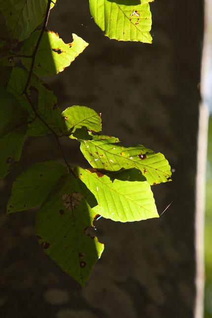 枯れ始めているブナの葉