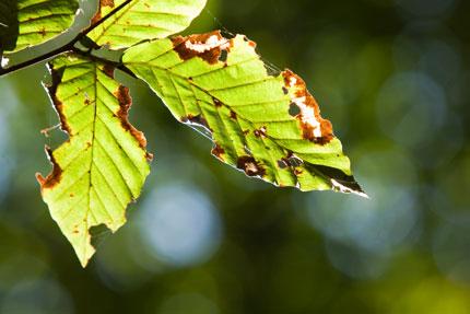 逆光で透けるブナの葉