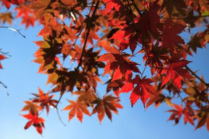 青空に赤い紅葉