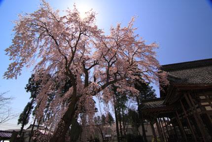 光り輝く枝垂れ桜