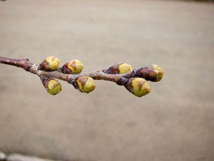サクラの花は、まだ蕾状態