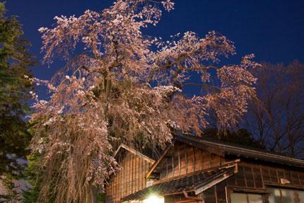 榊神社の枝垂れ桜