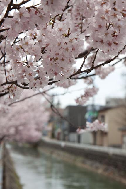 こじんまり可愛らしい桜