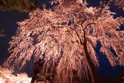 忠霊党前の枝垂れ桜