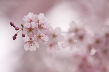 下から見上げた枝垂れ桜