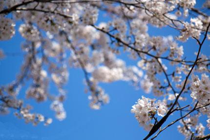 ソメイヨシノの薄いピンク色