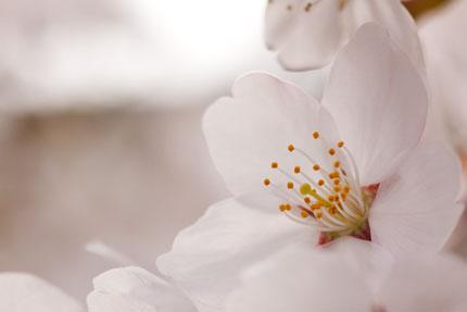 桜の花も悲しげに見える