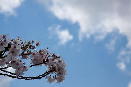 わずかに残った桜の花