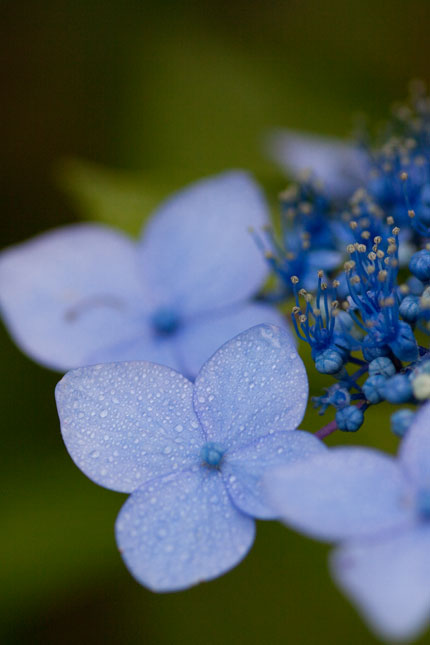深いブルーが雨の季節にマッチしています