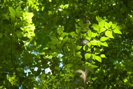 ブナの葉が緑に輝きます