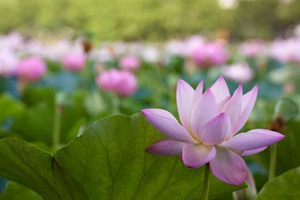 はすの花を見るのは、朝に限ります