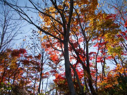 逆光で赤や黄色に輝く葉