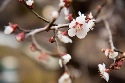 咲いている梅の花