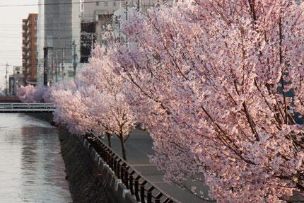 儀明川沿いの小彼岸桜が満開