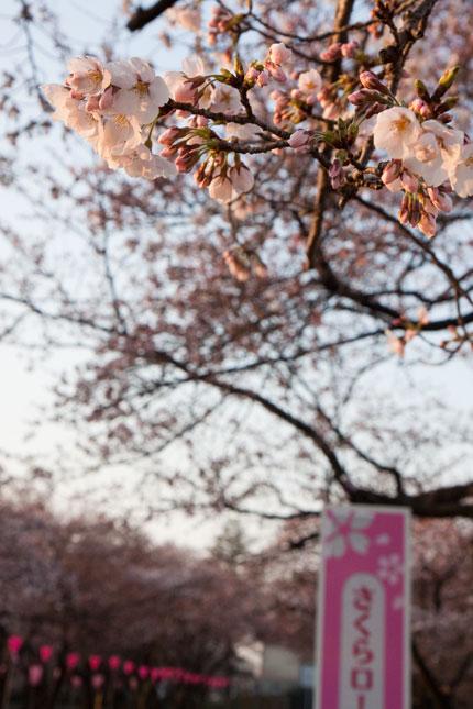高田公園の染井吉野が咲き始めました