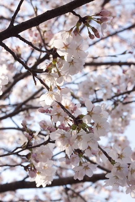 弊社の横にある桜