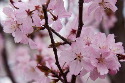 大山桜<br />
