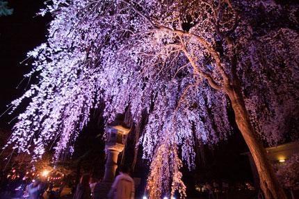 忠霊塔前の枝垂れ桜ライトアップ