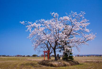 上越市飯の田の中にある桜