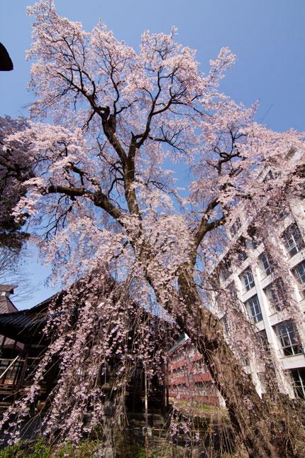 大きい枝垂れ桜
