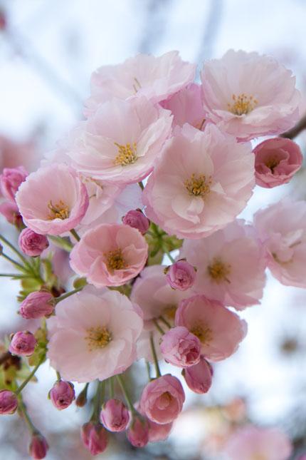 一重牡丹桜