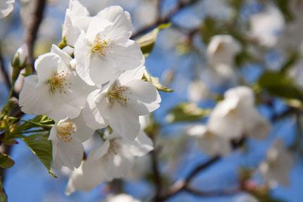 兼六園冬咲桜