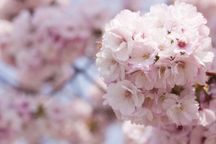たくさんの花、花びら、淡いピンク