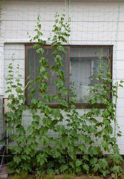 他のゴーヤも窓まで成長