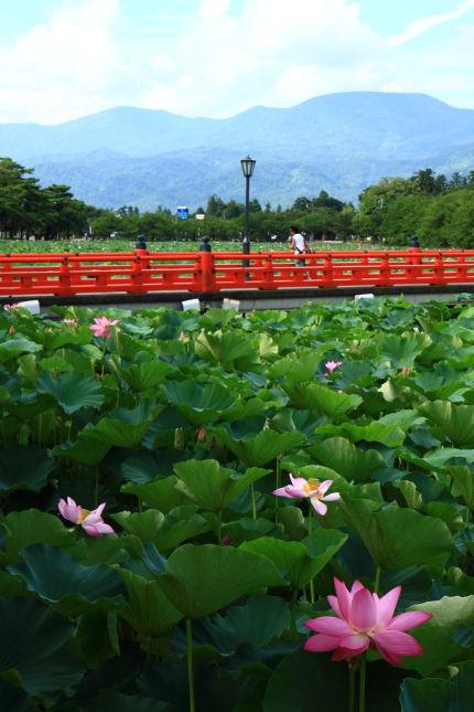 高田公園の蓮
