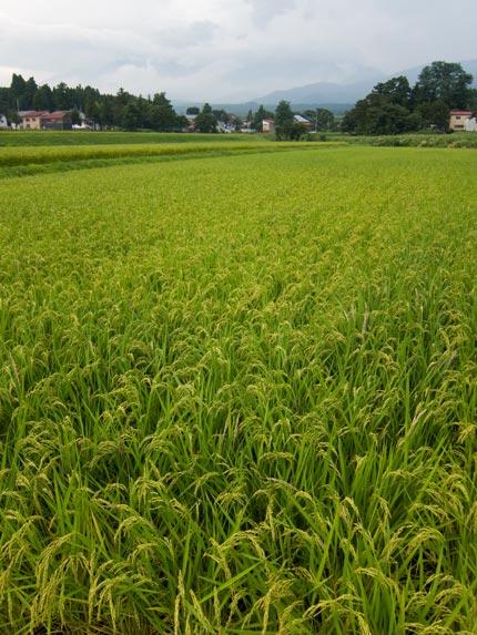 稲が穂を垂れている