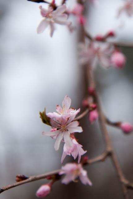 4月11日撮影の十月桜
