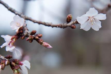 4月13日撮影の冬桜