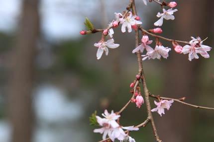 4月13日撮影の十月桜