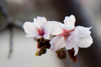 4月17日撮影の冬桜