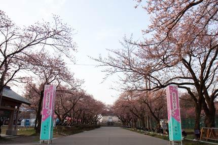 高田公園内のさくらロード