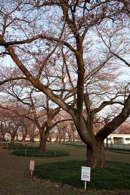 忠霊塔前の樹齢100年あまりの染井吉野