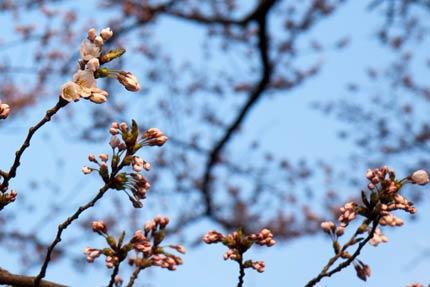 開花宣言木の花が咲いている