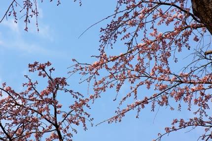 枝垂れ桜も上の所は花が開いていました