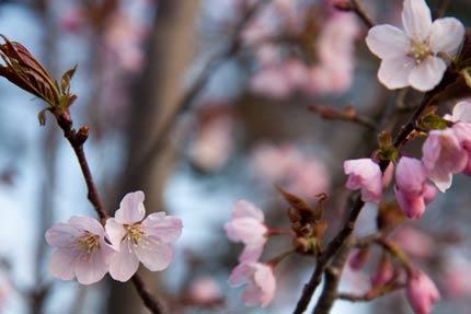 4月17日撮影のオオヤマ桜