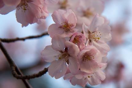 4月17日撮影の高遠小彼岸桜