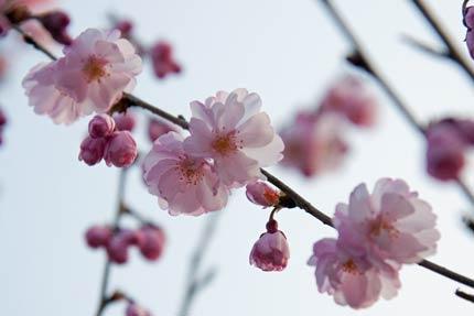 4月17日撮影の八重紅彼岸桜