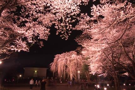 忠霊塔前の枝垂れ桜<br />