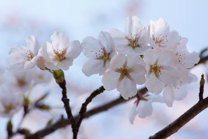 咲き始めたばかりのソメイヨシノ