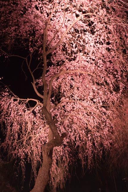 後ろから見た枝垂れ桜