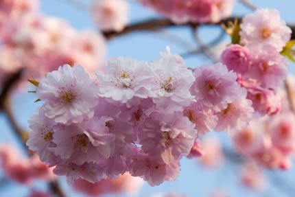 紅八重枝垂れ桜